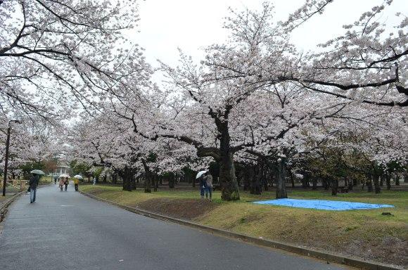 cherry blossoms, cherry tree