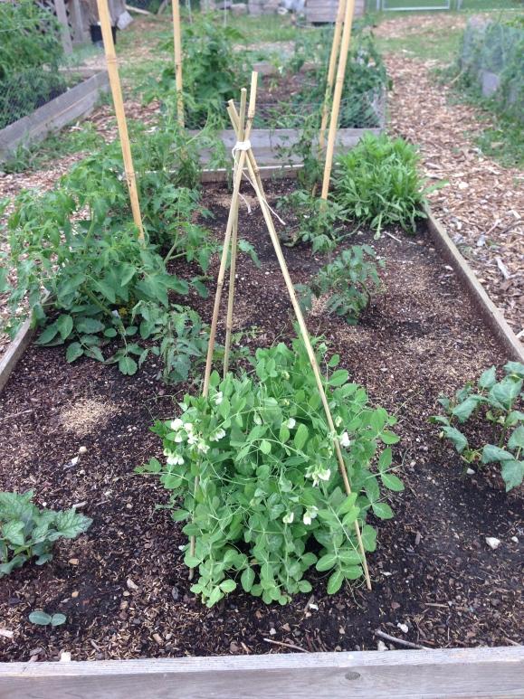 plot 6, peas