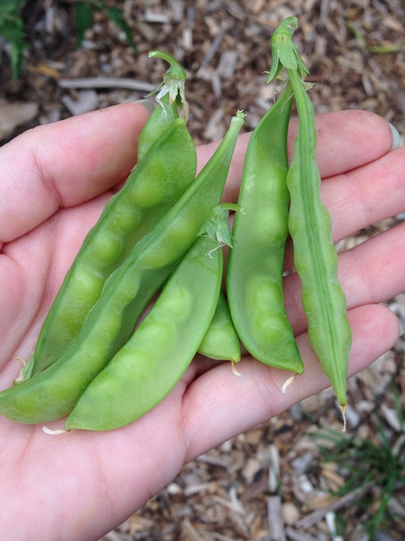 tiny pea harvest, plot 6