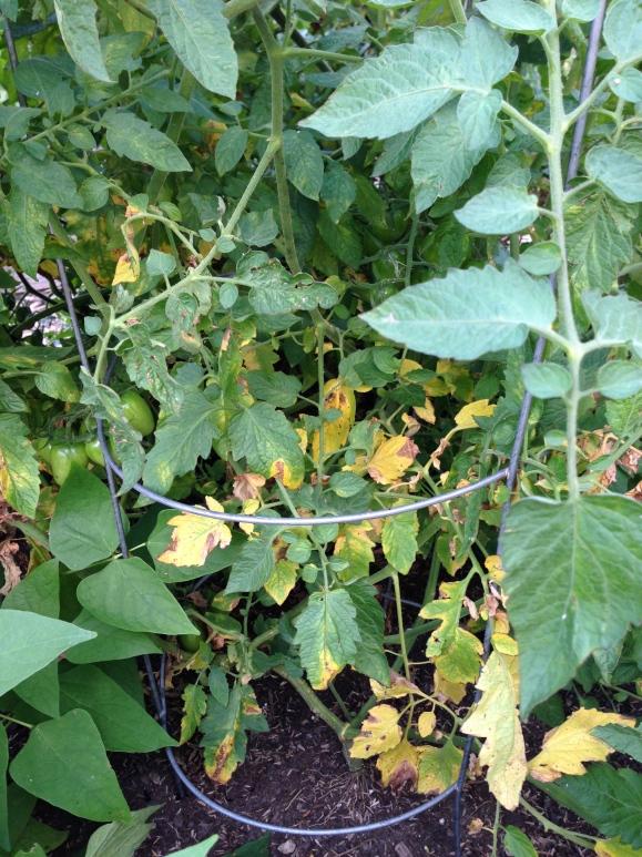 plot 6, yellowed leaves