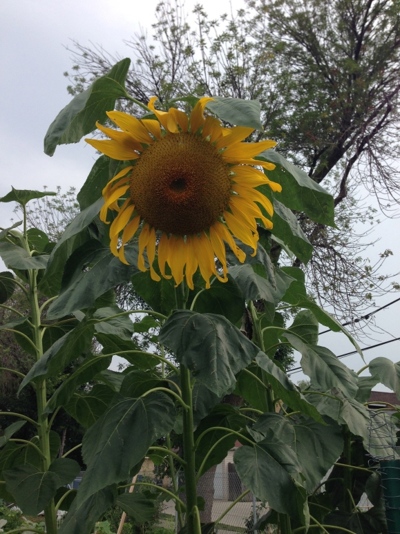sunflower, forest park community garden