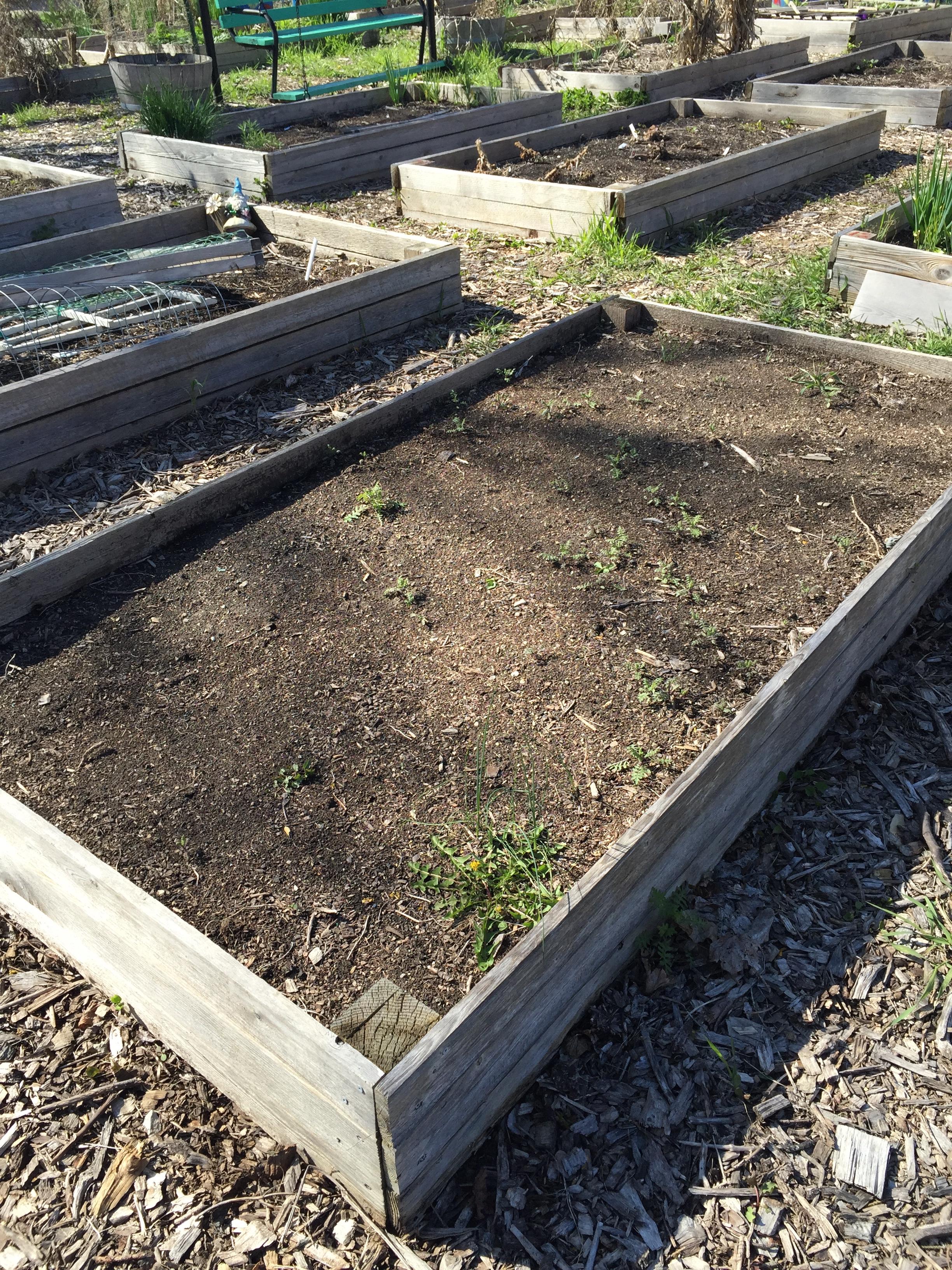 plot #6, forest park community garden, pre-preparation