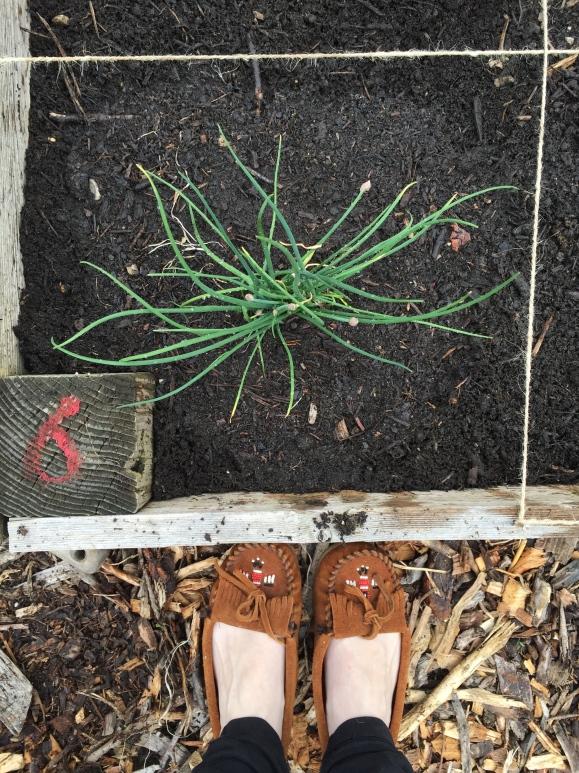 chives, plot #6, community garden, forest park community garden
