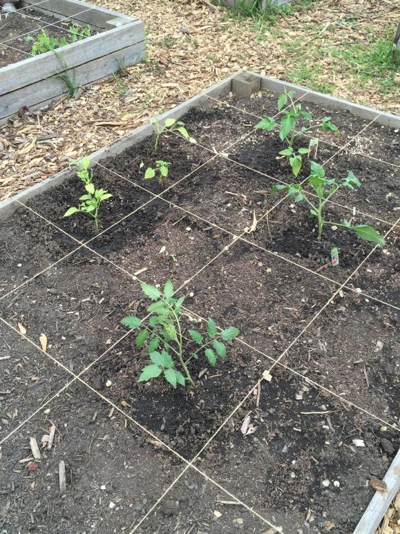 plot #6, 5/25/15, community garden