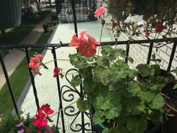 old geranium