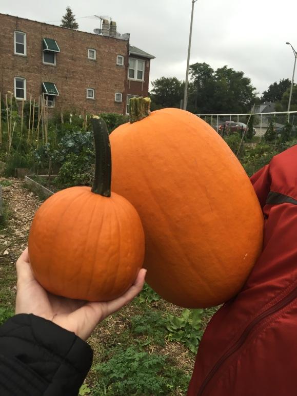 Pumpkins, Forest Park Community Garden, plot 6