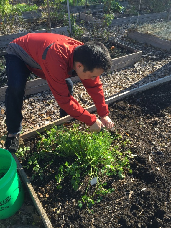 plot 6, Forest Park Community Garden, Naoto picking parsley
