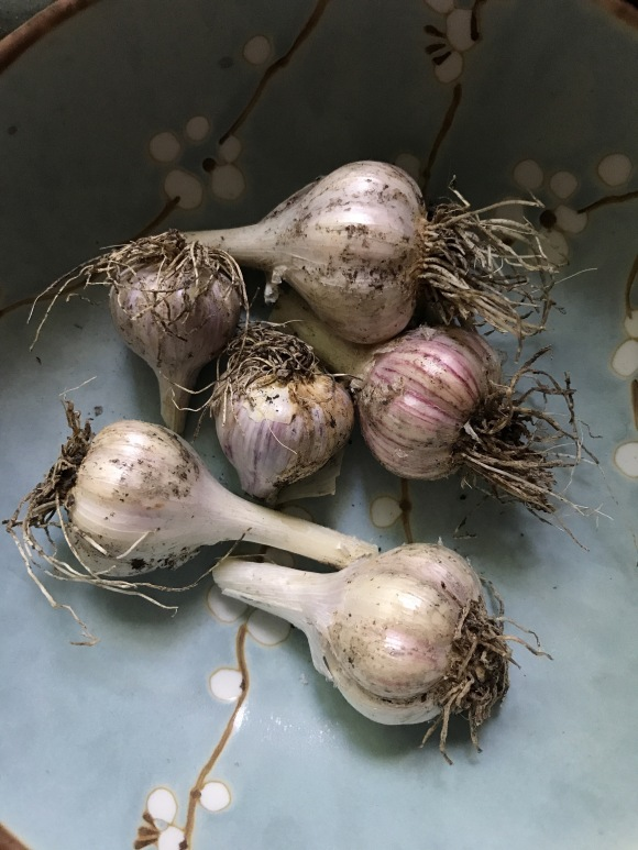 garlic harvest, plot 6, forest park community garden, forest park grows, community gardening