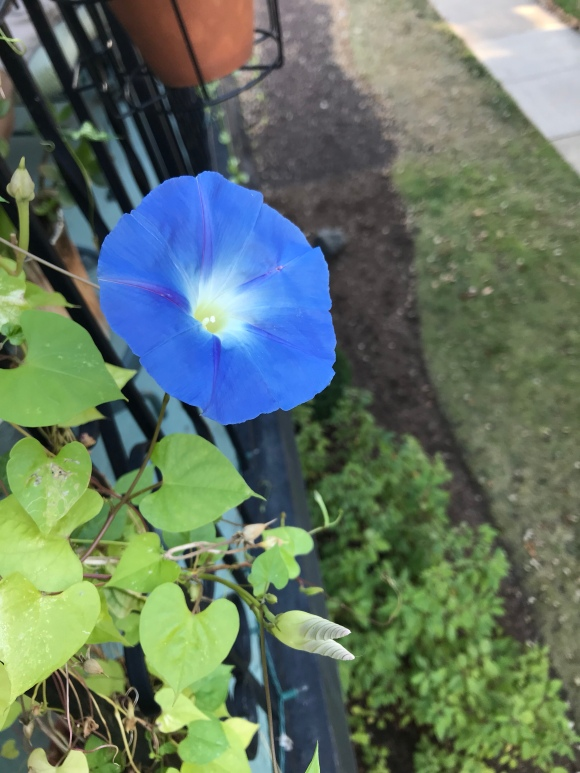 morning glories, balcony garden, vining flowers