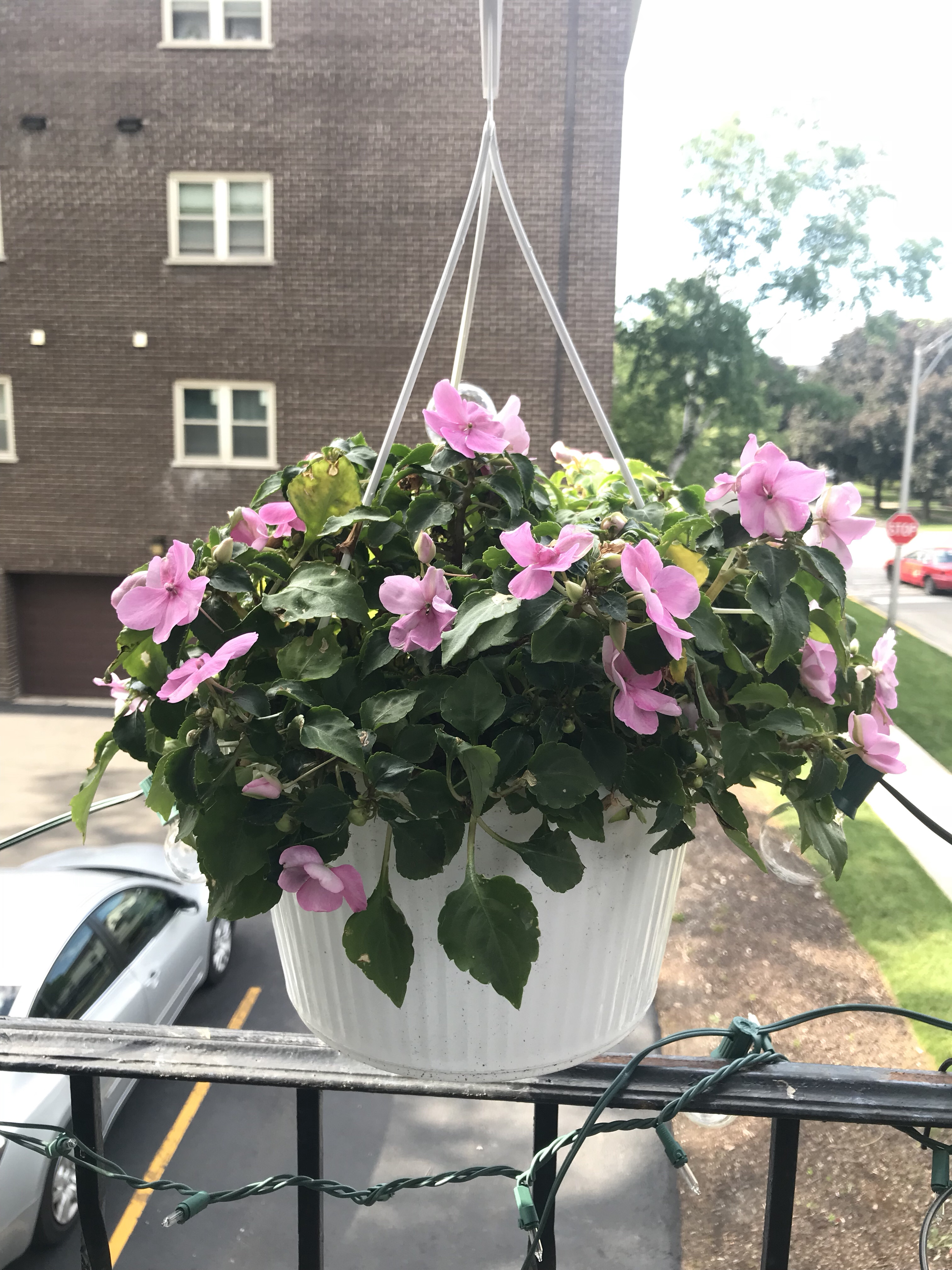 pink impatiens, container garden, lanai garden, balcony garden