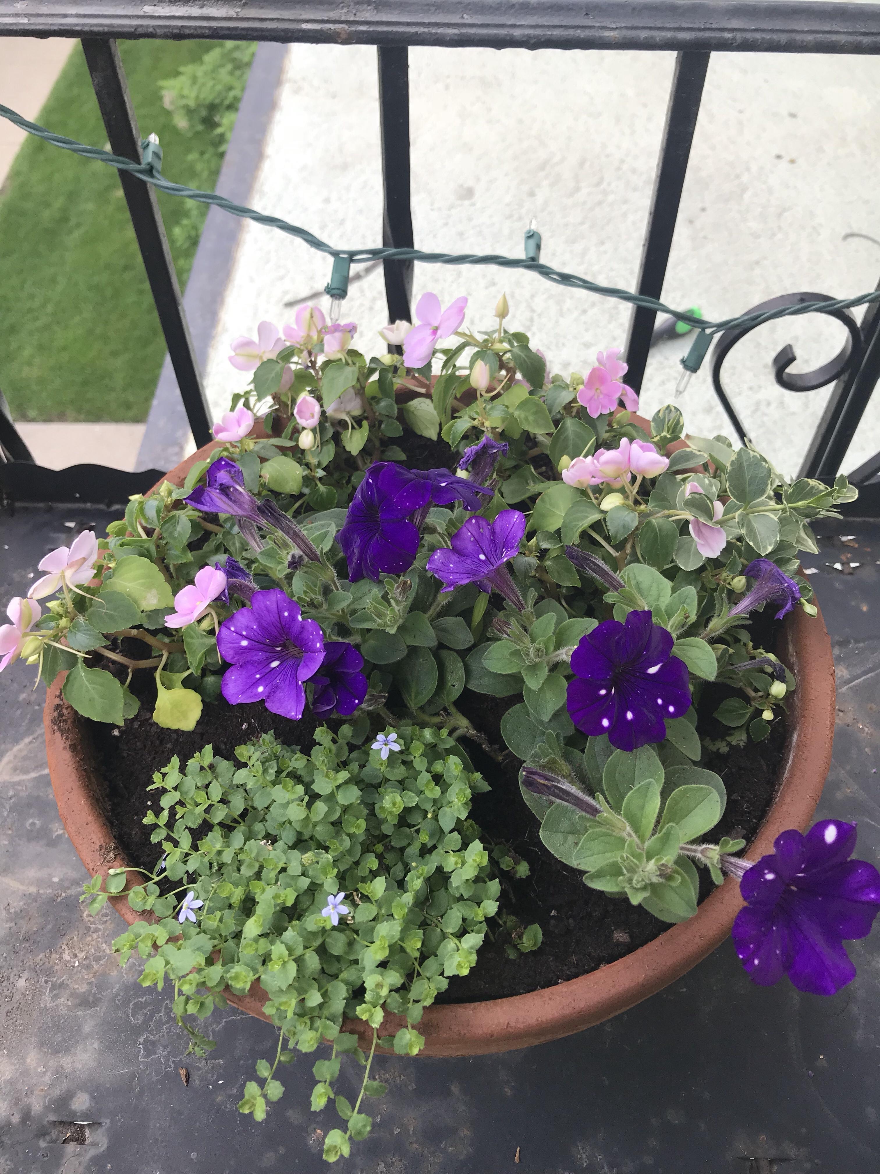 purple flowers, impatiens, story night petunias, fairy flowers