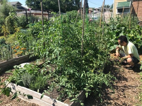 plot 6, tomato jungle, forest park community garden, community garden, raised bed