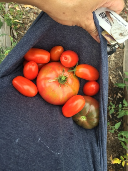 red tomatoes, plot 6, forest park community garden, big boy