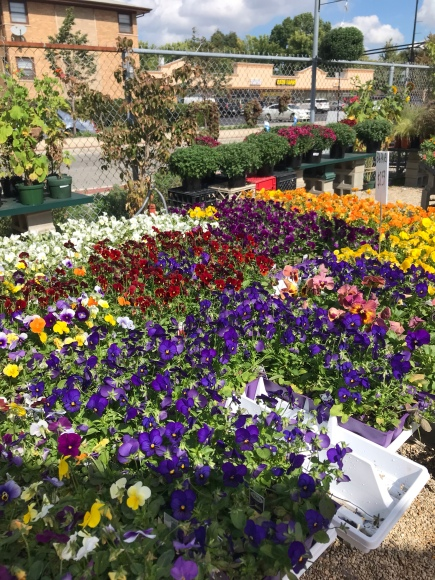 empowering gardens, fall pansies, fall flowers, garden center